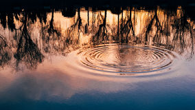 Water rings on forest lake. In sunset Stock Photography