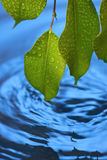 Water Ripples Leaf Fresh Background. Closeup of green leaves sprayed with water and a rippled water background Stock Photos