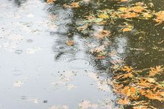 Water ripples and raindrops on lake surface in fall. Rain drops making water ripples on lake surface in fall with leaves floating on top Stock Photos