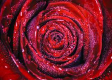 water rose stock image