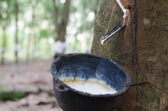 Water of rubber tree into a bowl Stock Photos