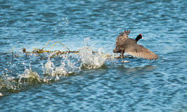 Water runner Royalty Free Stock Images