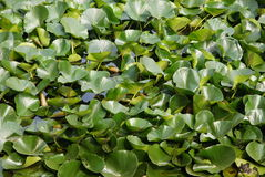 Water's plant. Green plants floats on water Royalty Free Stock Images