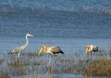 Water scene with african grey heron and yellow-billed storks wading. African Grey Heron and Two Yellow Billed Storks wading in shallow water on Lake Kariba stock images