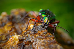 Water scene with shiny Golden ground beetle. Bright green insect in the nature habitat, Krkonose, Czech republic. Golden ground be Royalty Free Stock Image