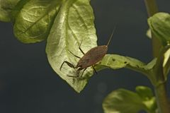 Water scorpion, Nepa cinerea Stock Images