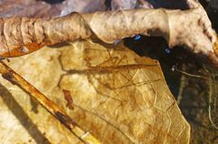 Water scorpions in the water. Water scorpions is living in the water Stock Photos