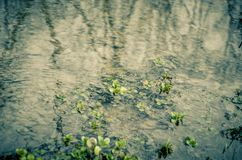Water seaweed plants in river Stock Photography