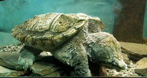 Large Snapping Turtle stock images