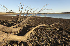 Water shortage. Dead tree in a reservoir bed during water shortage, Alentejo, Portugal Royalty Free Stock Image