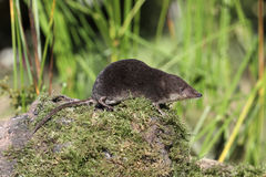 Water shrew, Neomys fodiens Stock Photography