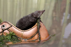 Water shrew, Neomys fodiens Stock Image