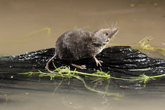 Water shrew, Neomys fodiens Royalty Free Stock Photo