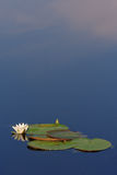 Water and Sky. Early in the morning in the still water reflected white lily and clouds Royalty Free Stock Images