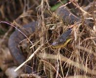 Water snake Stock Image