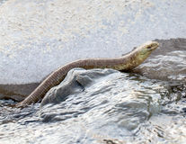 Water snake Royalty Free Stock Images