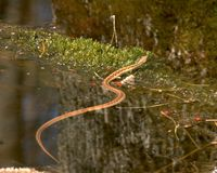 Water Snake. Partially on log Royalty Free Stock Photos