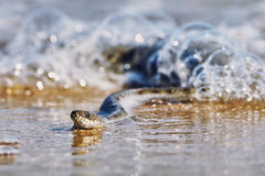 Water snake on the Bay Royalty Free Stock Image