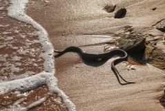 Water snake on the beach among people. dangerous snake crawled to the beach Royalty Free Stock Photography