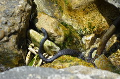 Water snake in Black Sea (Natrix) Stock Photo