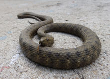Water snake on cement Royalty Free Stock Photography