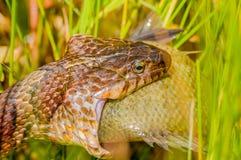 Water Snake Eating Prey Royalty Free Stock Image