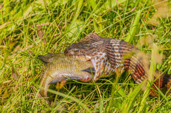 Water Snake Eating Prey Stock Photography