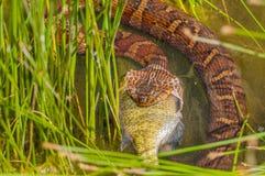 Water Snake Eating Prey Royalty Free Stock Photo