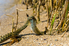 Water snake Royalty Free Stock Photo