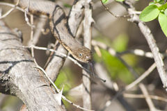 Water snake hanging from a treе. Stock Images