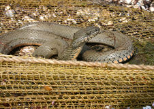 Water snake on the hunt. Water already on the shore near the fishing nets stock photography