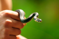 Water Snake (Natrix) in Hand Royalty Free Stock Photography