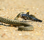 Water snake Stock Photography