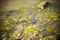 A water snake in the process of eating a fish. Stock Photo