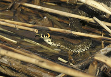 Water snake. Protrude its head out of the water among water grass stock photography