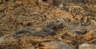 Water snake on the river stock images