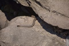 Water snake on rocks Stock Photography