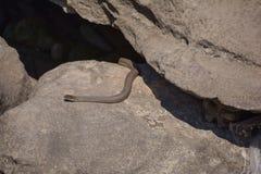 Snake. Water snake, dice snake stock photography