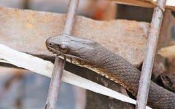 WATER Snake slithering up through rusty metal grate stock photos