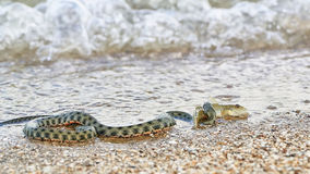 Water snake swallows fish. Sea fish in the mouth of a water snake on the seashore Stock Image