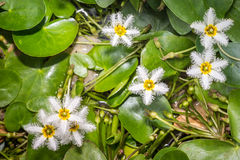 Water Snowflake or Nymphoides indica royalty free stock photography