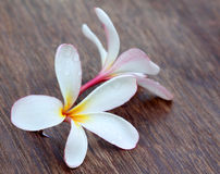 Water soaked Plumeria Stock Photography