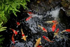 Water source with koi fish. stock photography