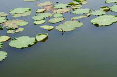 Water Space Among The Lotus Leaves. Water Space Among The Lotus Leaves In Natural Pond Stock Photography