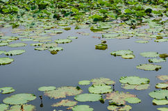 Water Space Among The Lotus Leaves. Water Space Among The Lotus Leaves In Natural Pond Royalty Free Stock Images