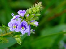 Water speedwell Stock Image