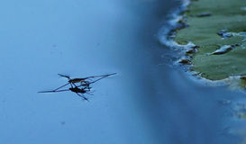 Water spider. Royalty Free Stock Photos