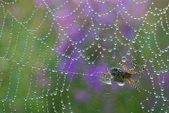 Water on spiderweb. Close up of spider on web covered in water Royalty Free Stock Photos