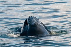 Water spilling from the open mouth of a feeding adult Humpback Whale, Antarctic Peninsula royalty free stock photos