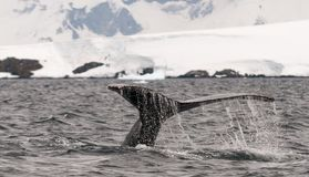 Water spilling from tail flukes of diving adult Humpback Whale, Antarctic Peninsula stock photos